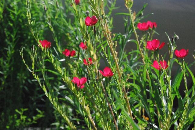 Scarlet Flax