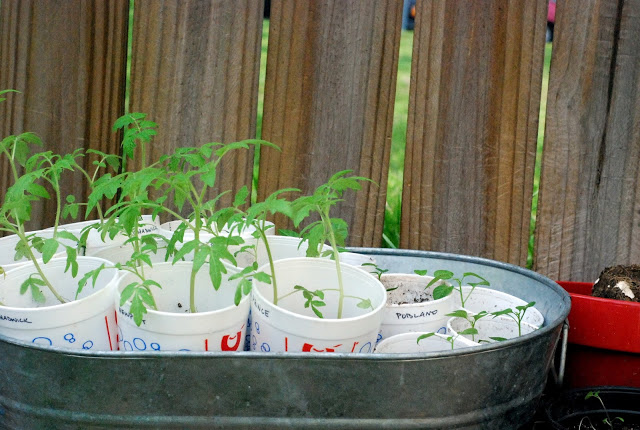 2012.02.26 tomatoes